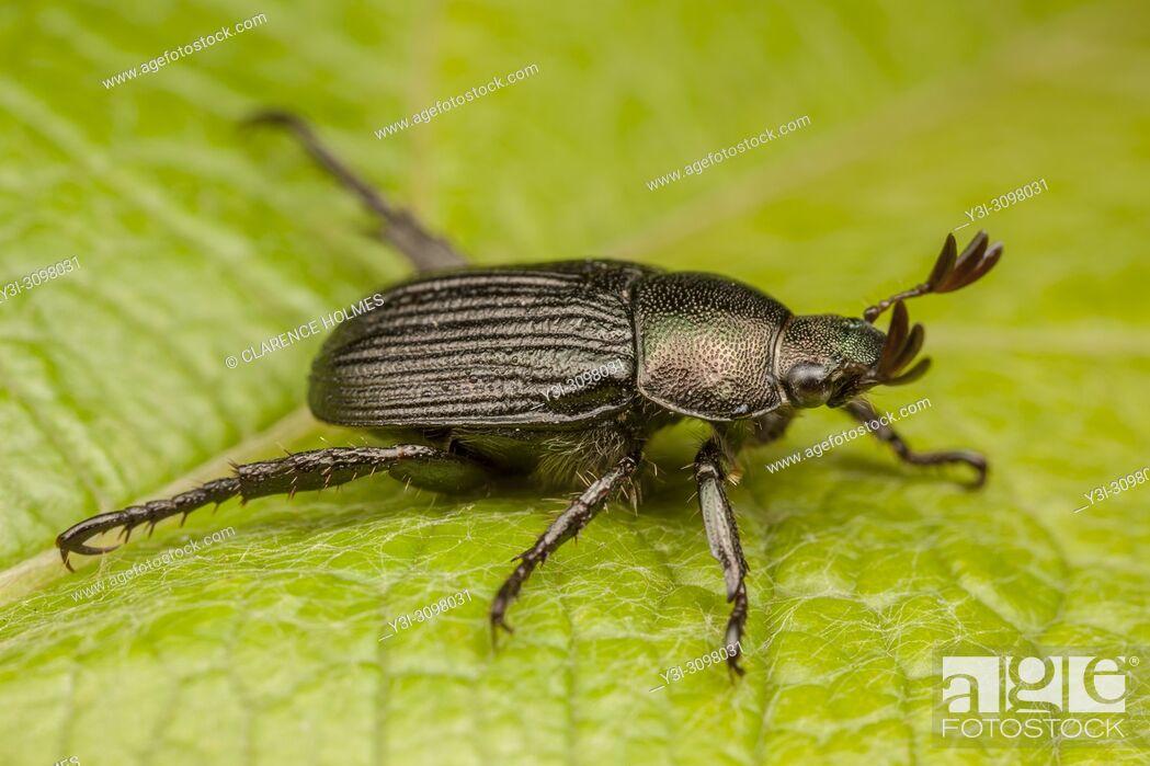 Stock Photo: A dark form of the Oriental Beetle (Exomala orientalis) on a leaf.