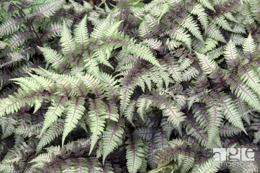 Imagen: Ghost fern (Athyrium 'Ghost'). Hybrid between Japanese painted fern (Athyrium niponicum 'Pictum') and Lady fern (Athyrium filix-femina).