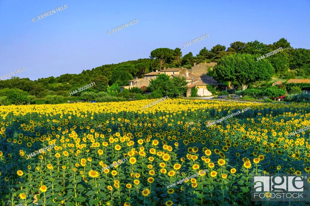 Stock Photo: France, Alpes-de-Haute-Provence, Luberon, Lourmarin, Provence, Vaucluse, Medieval, Sunflowers.