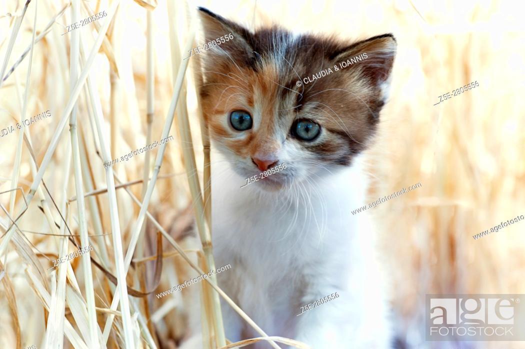 Photo de stock: A calico kitten is walking in tall dry grass.
