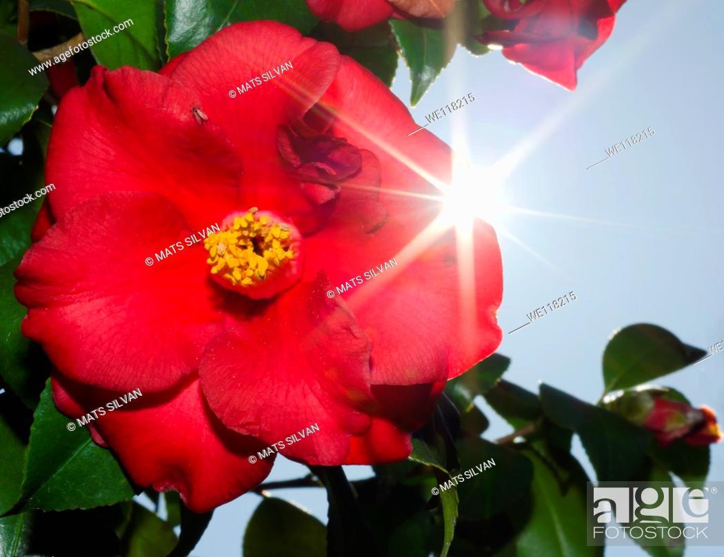 Stock Photo: Camellia flower.