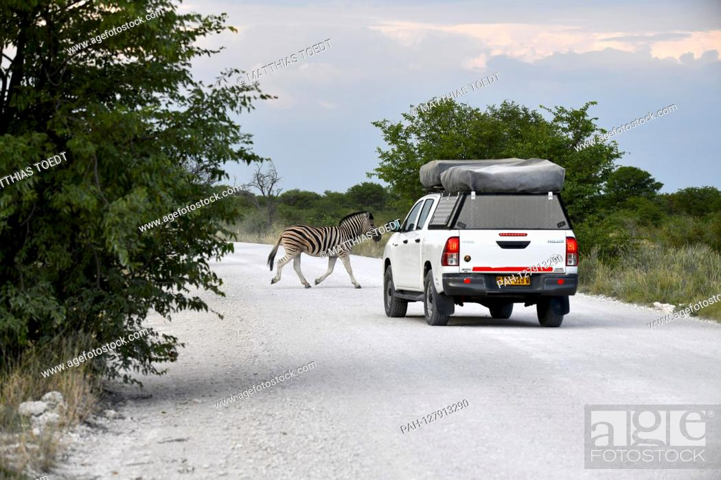 Imagen: A zebra (Equus quagga) passes a path in front of an off-road vehicle in Etosha National Park, taken on 05.03.2019. With more than 22, 000 square kilometers.