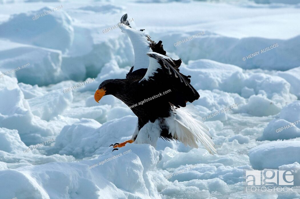 Imagen: Steller's sea eagle (Haliaeetus pelagicus), Russia.