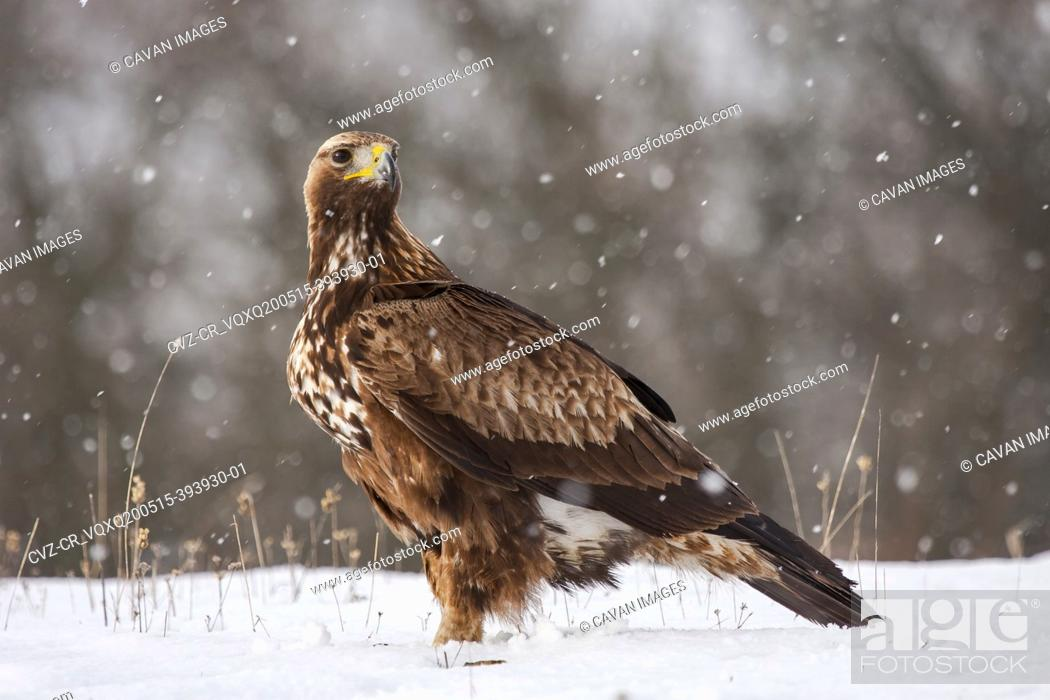 Stock Photo: Golden Eagle, Aquila chrysaetos, perched in the snow on a forest floor under a snowfall.