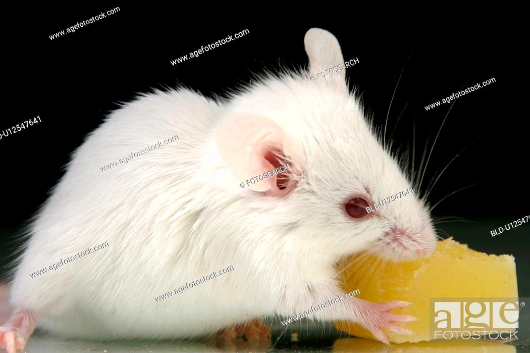 Stock Photo: animals, cheese, black, alfred.