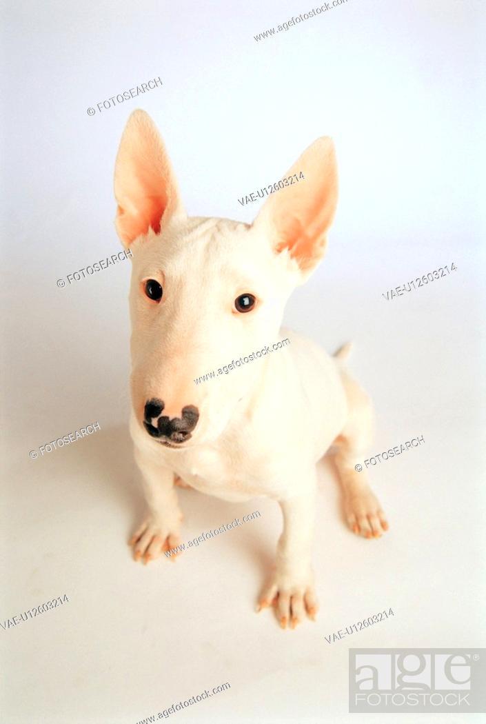 Stock Photo: dog, 35mm, petdog, animal, BullTerrier, mammal, film.
