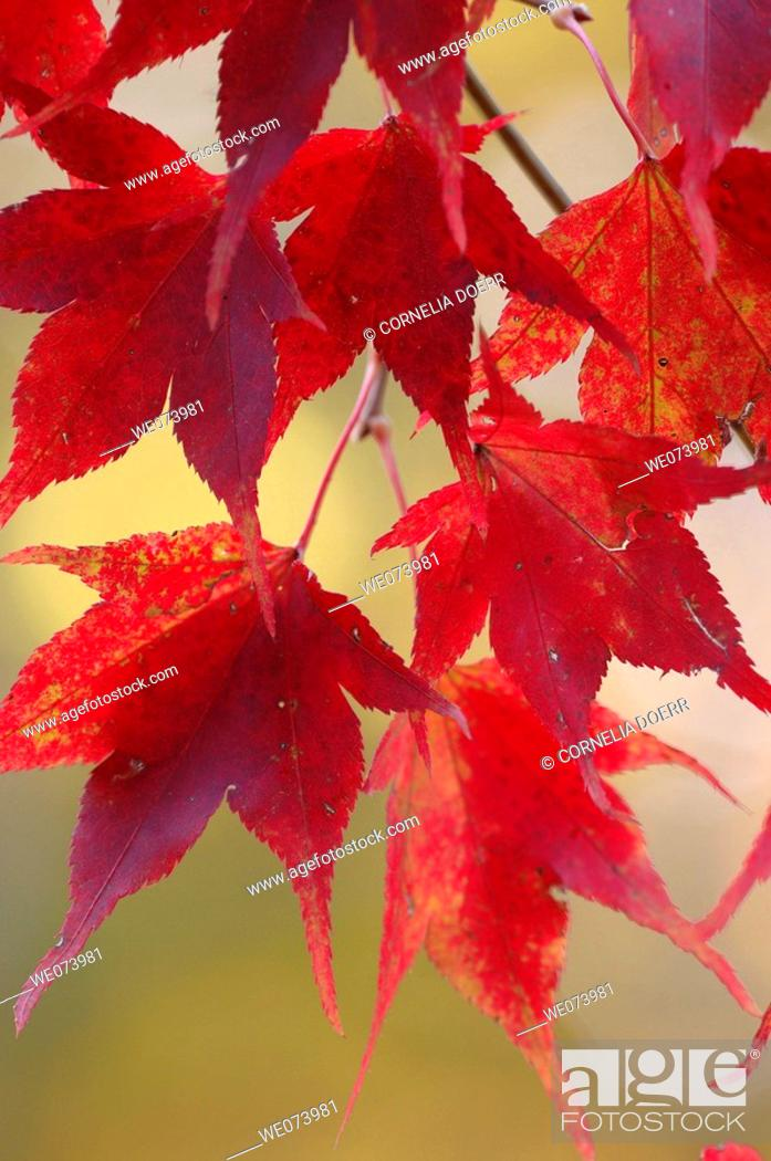 Stock Photo: Maple Leaves in autumn, Saxony, Germany.