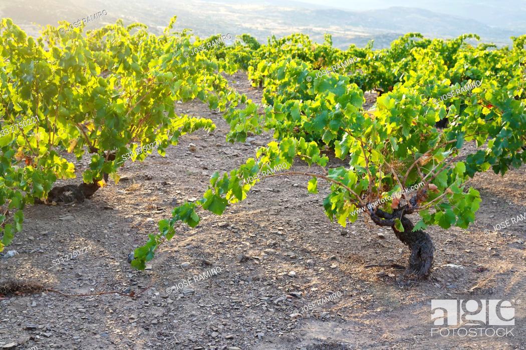 Stock Photo: Vineyards in Cebreros. Avila. Castilla Leon. Spain. Europe.