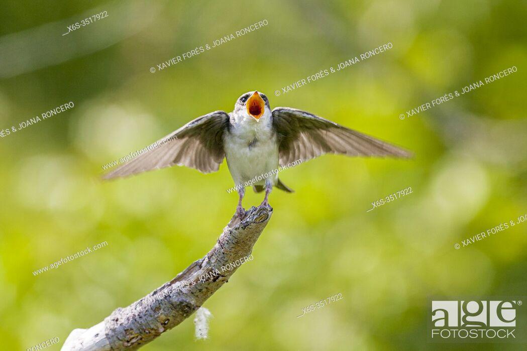 Imagen: Tree Swallow - Tachycineta bicolor -, Potter Marsh, Anchorage coastal wildlife refuge, Anchorage, Alaska, U. S. A.