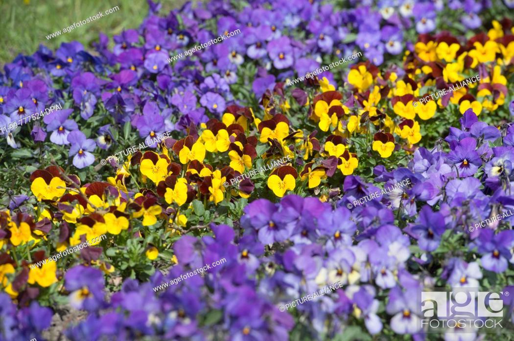 Stock Photo: 09 April 2019, Mecklenburg-Western Pomerania, Stralsund: Pansies bloom in a park in Stralsund. Photo: Stefan Sauer/dpa-Zentralbild/ZB.