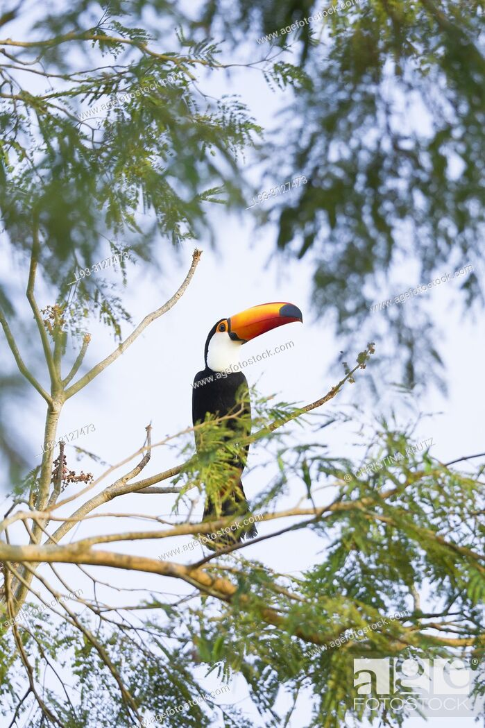 Stock Photo: Toco Toucan, Ramphastos toco, in the nature habitat, Pantanal, Brazil.