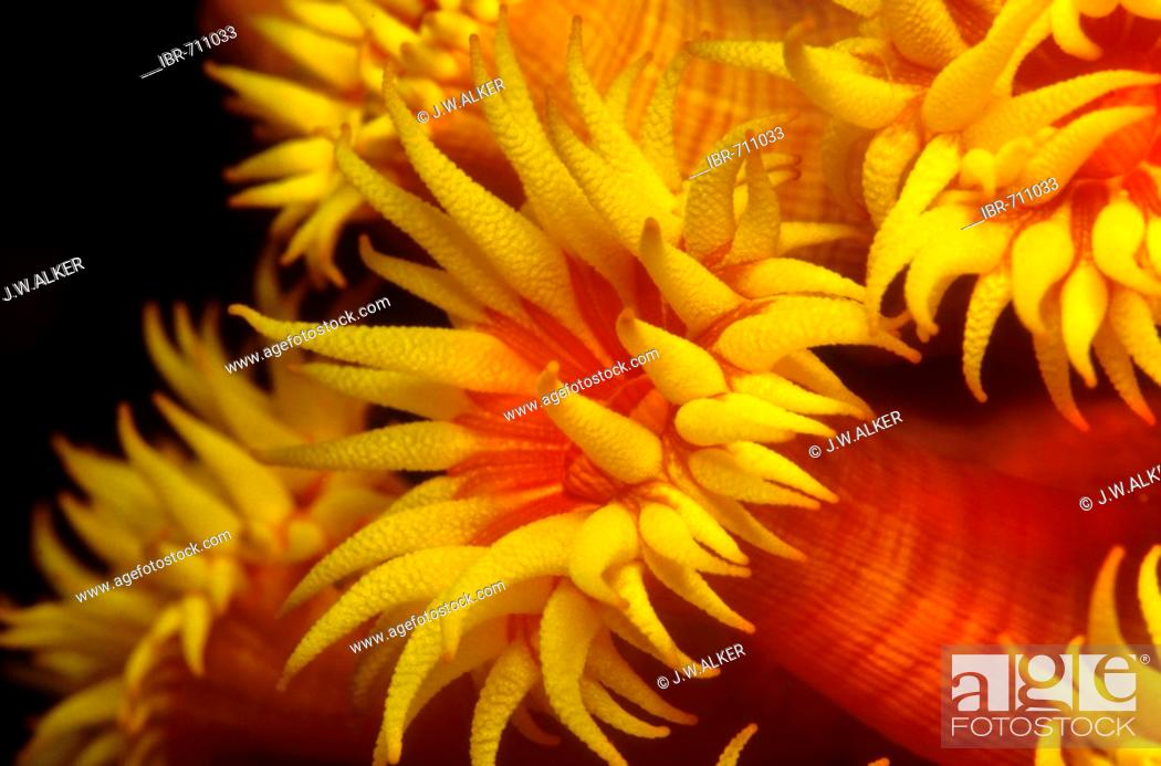 Stock Photo: Orange Sun Coral (Tubastrea faulkneri), Philippines, Asia.