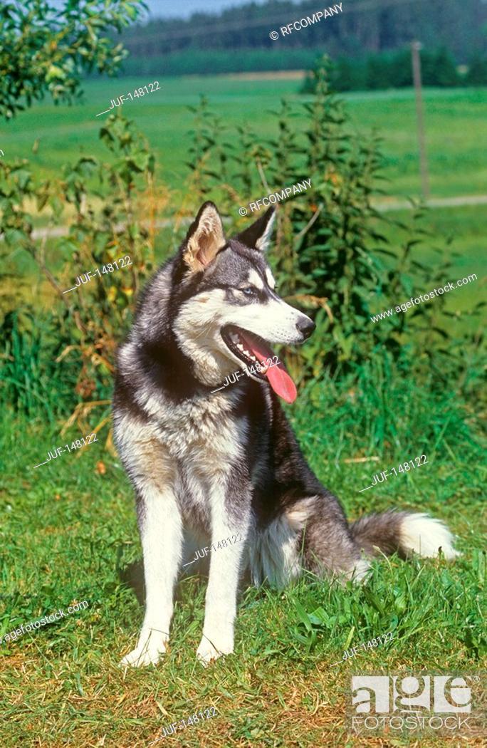 Stock Photo: siberian husky - sitting on meadow.