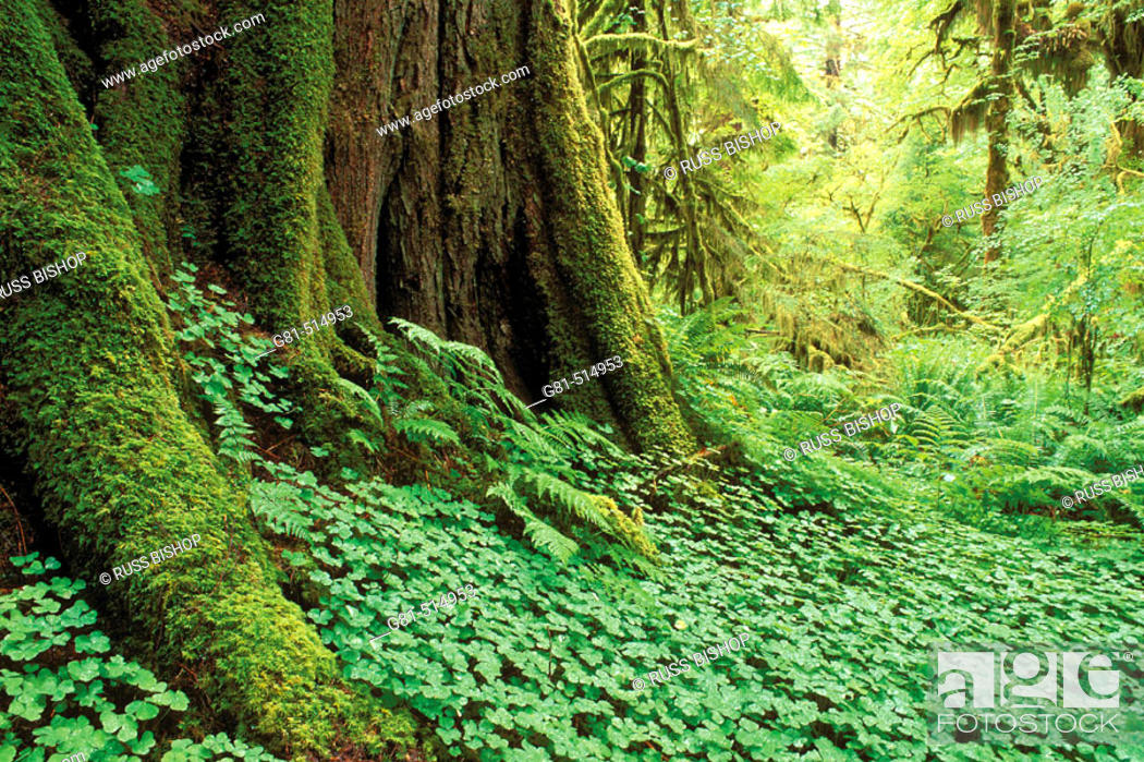 Stock Photo: Sword ferns, sorrel, and moss-covered old growth in the Queets Rain Forest, Olympic National Park, Washington.