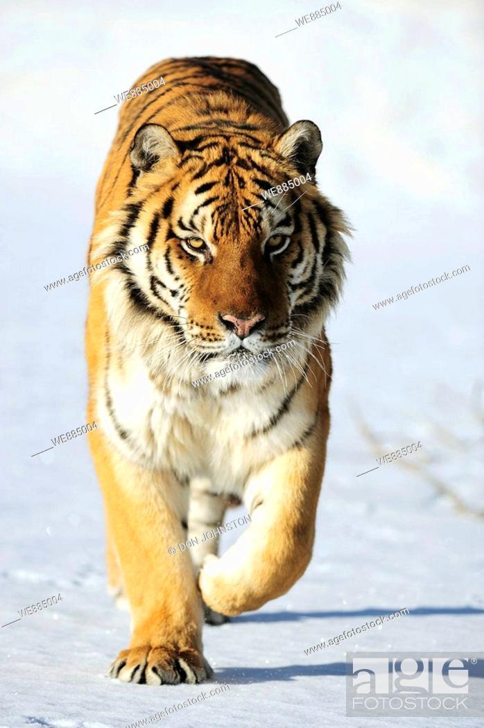Stock Photo: Siberian tiger Panthera tigris altaica- captive in winter habitat.