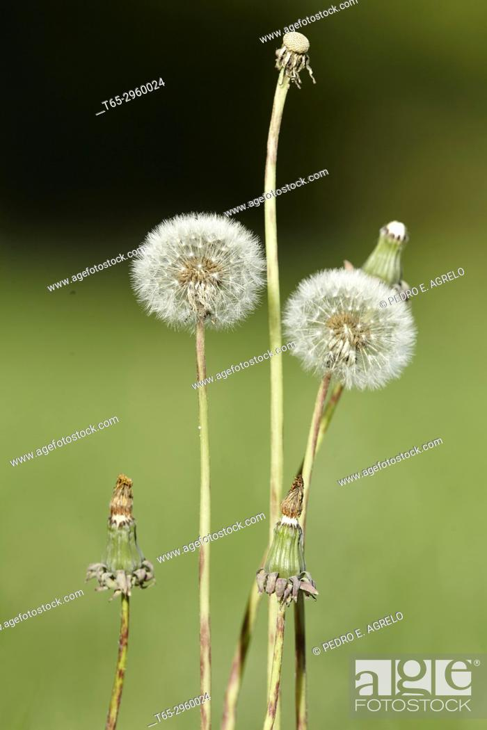 Stock Photo: Natural Medicine, Dandelion (Taraxacum officinale) flower in a field of grass, near Portomarin, Lugo Grass with ephemeral white flowers that houses an.