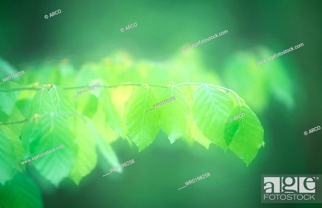 Stock Photo: Beech, leaves, in, spring, national, park, Jasmund, Isle, of, Rugen, Mecklenburg-Western, Pommerania, Germany, Fagus, sylvatica.