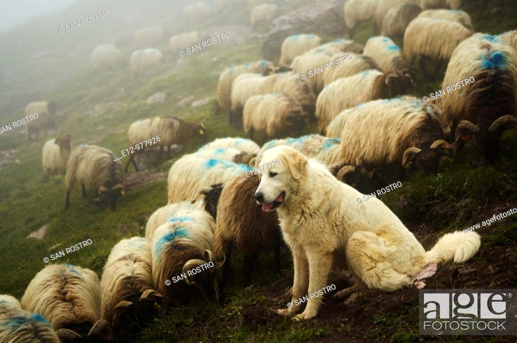 Stock Photo: France, Pyrenees mounts, Pyrenees-Atlantic department, Aspe valley, herd with their shepherd dog a Great Pyrenees.