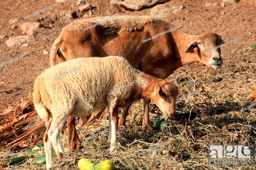 Stock Photo: two canarian breed pelibuey sheeps grazing in the open air.