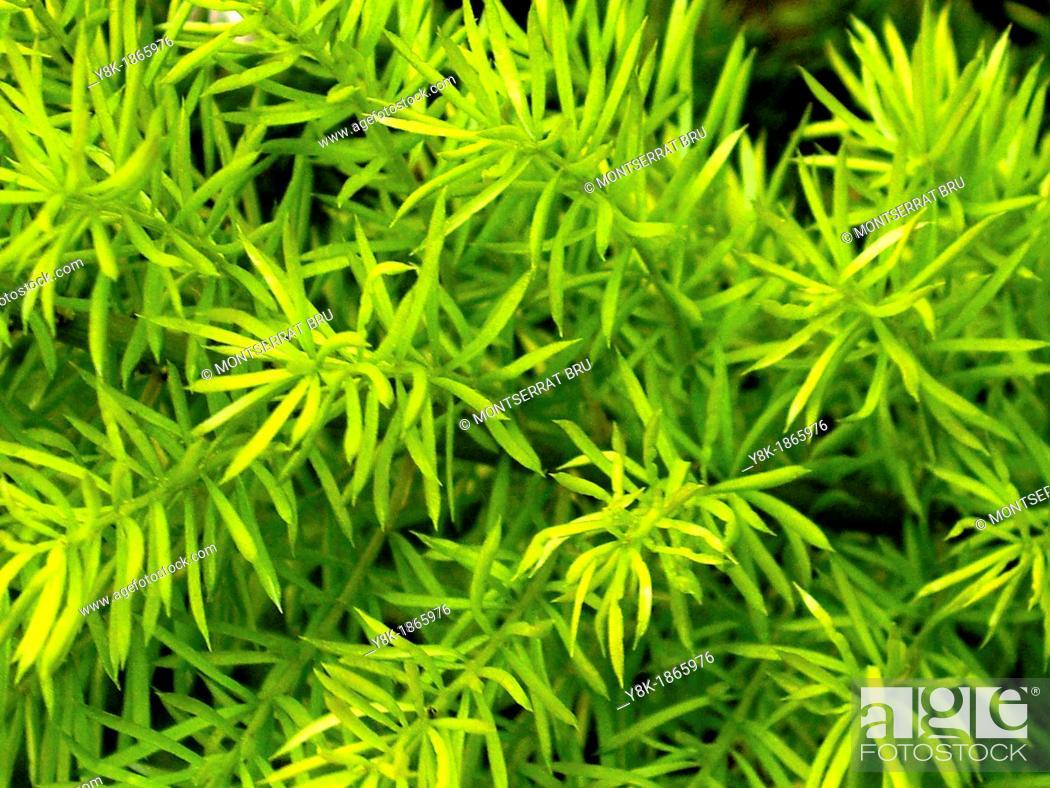 Stock Photo: Asparagus plant foliage closeup.