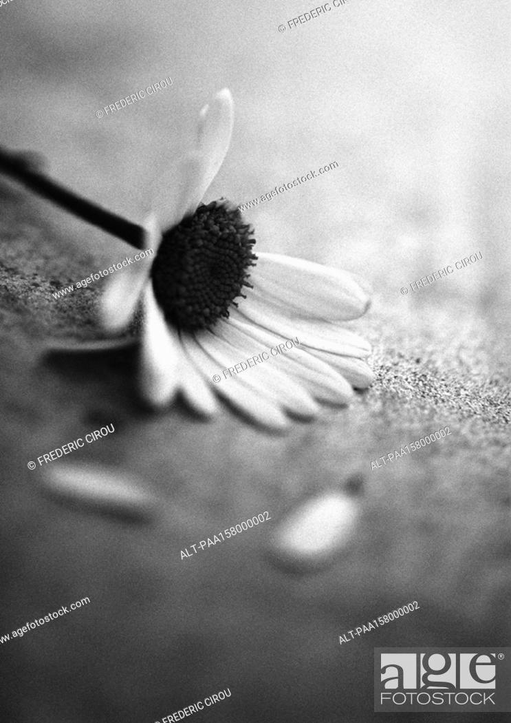 Stock Photo: Flower, b&w.