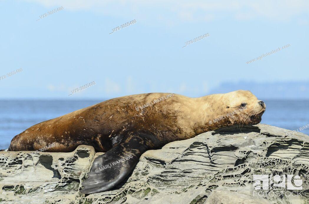 Stock Photo: Steller or Northern sea lion, Eumetopias jubatus, Salish Sea, British Columbia, Canada, Pacific. Endangered.