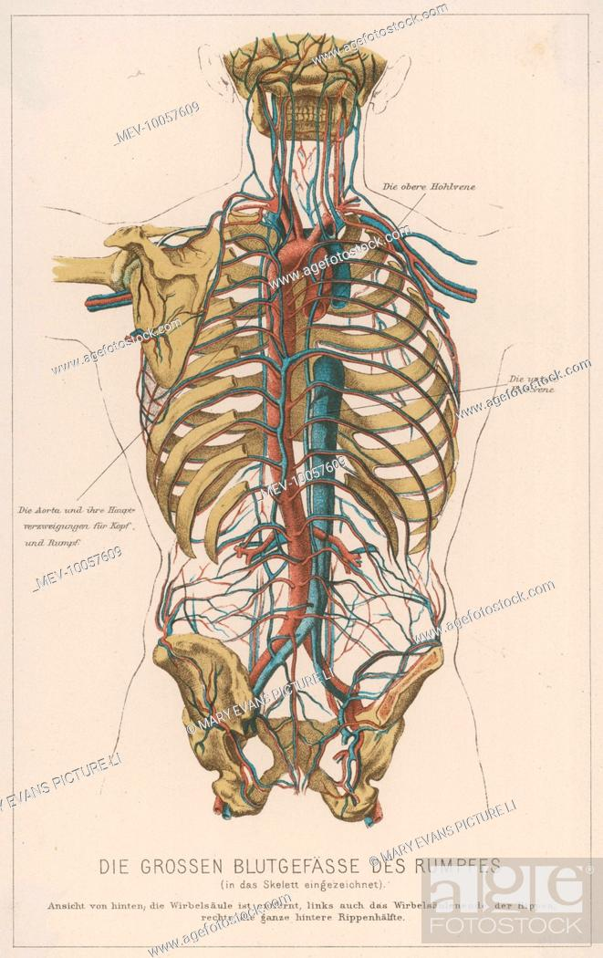 A Diagram Showing The Bones Which Make Up The Torso And Showing The