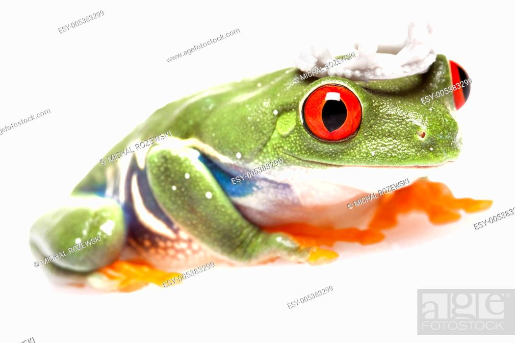 Stock Photo: green red-eyed frog.
