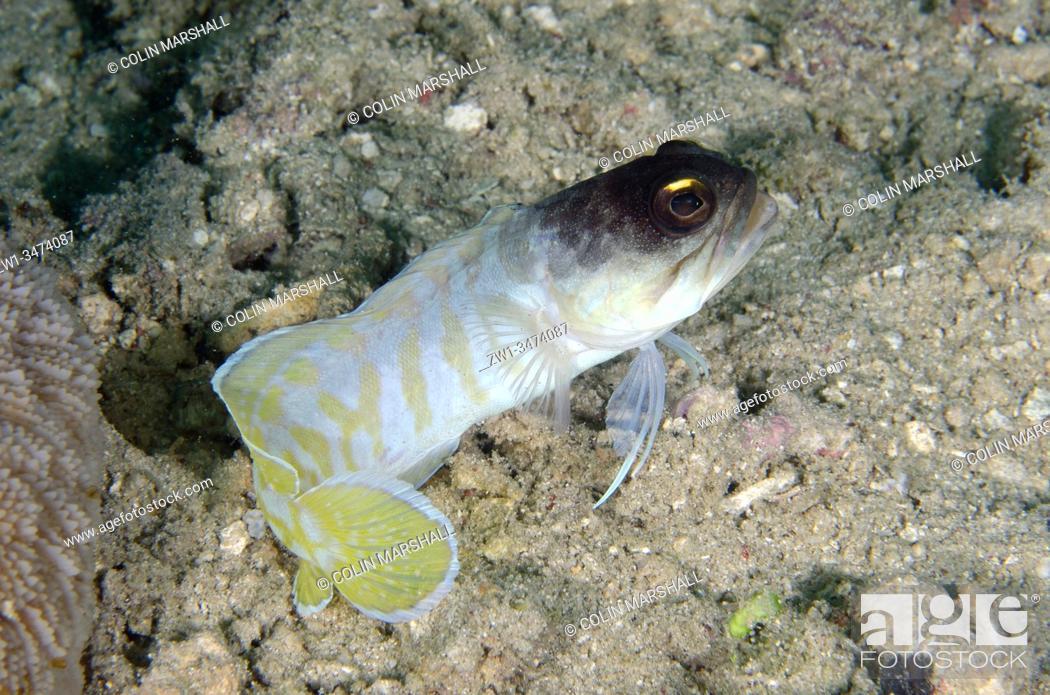 Stock Photo: Gold-specs Jawfish (Opistognathus randalli, Opistognathidae Family), Yellow Coco dive site, Bangka Island, north Sulawesi, Indonesia, Pacific Ocean.