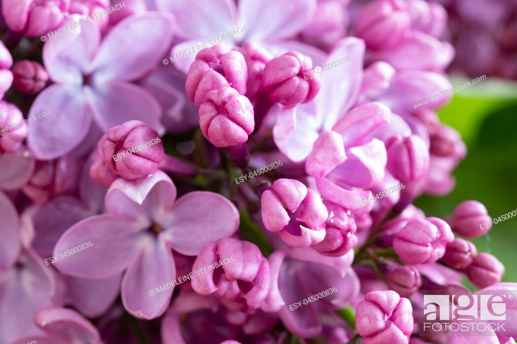 Stock Photo: Closeup of lilac flowers blooming outdoors, selective focus.