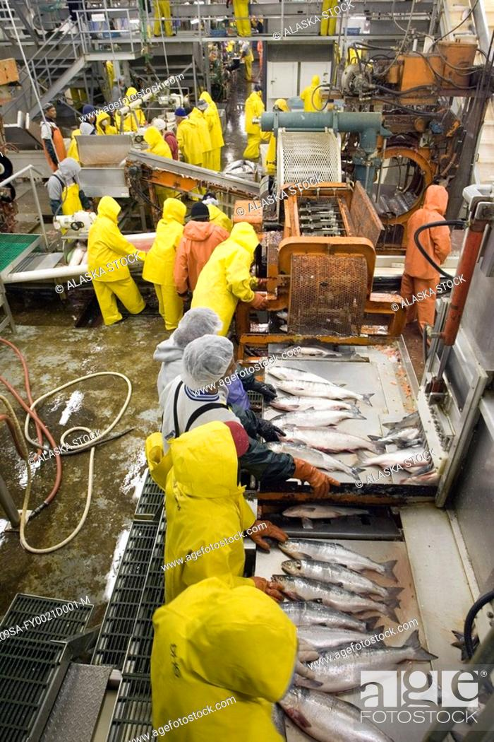 Stock Photo: Cannery workers prepare salmon at Peter Pan Seafoods in Bristol Bay Dillingham Alaska.