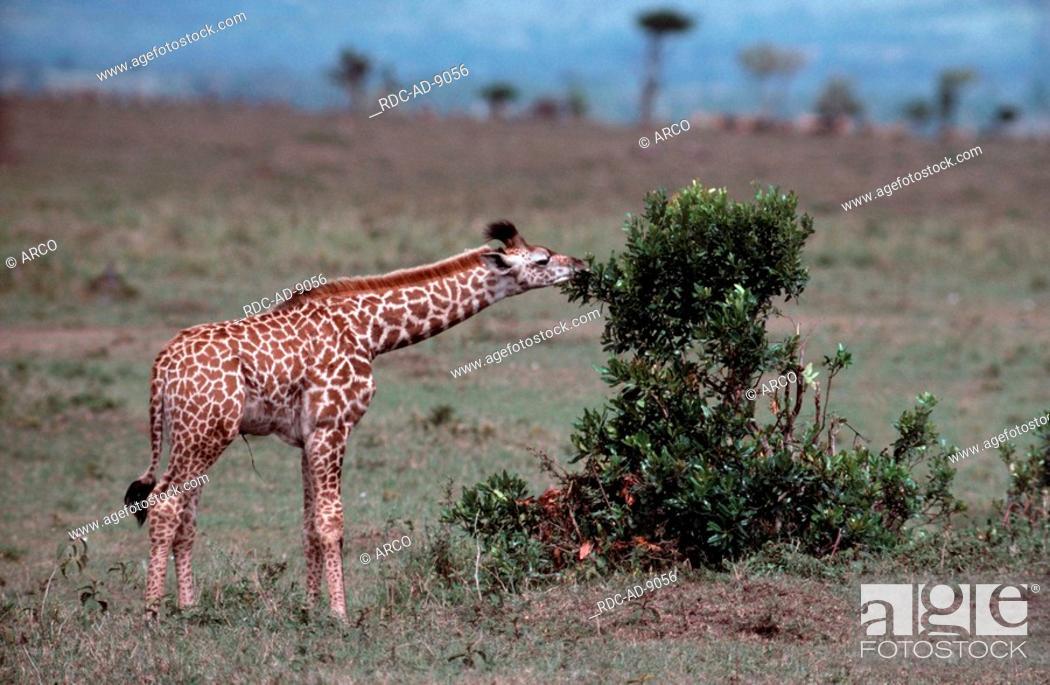 Stock Photo: Giraffe, calf, Massai Mara Game Reserve, Kenya, Giraffa camelopardalis tippelskirchii.