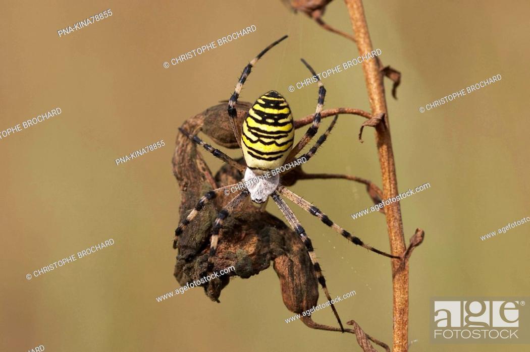 Stock Photo: wasp spider Argiope bruennichi - Vorden, Achterhoek, Guelders, The Netherlands, Holland, Europe.
