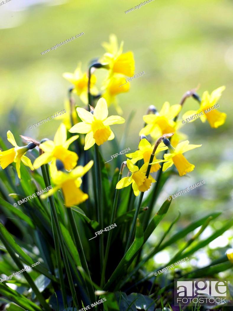 Stock Photo: yellow daffodil.