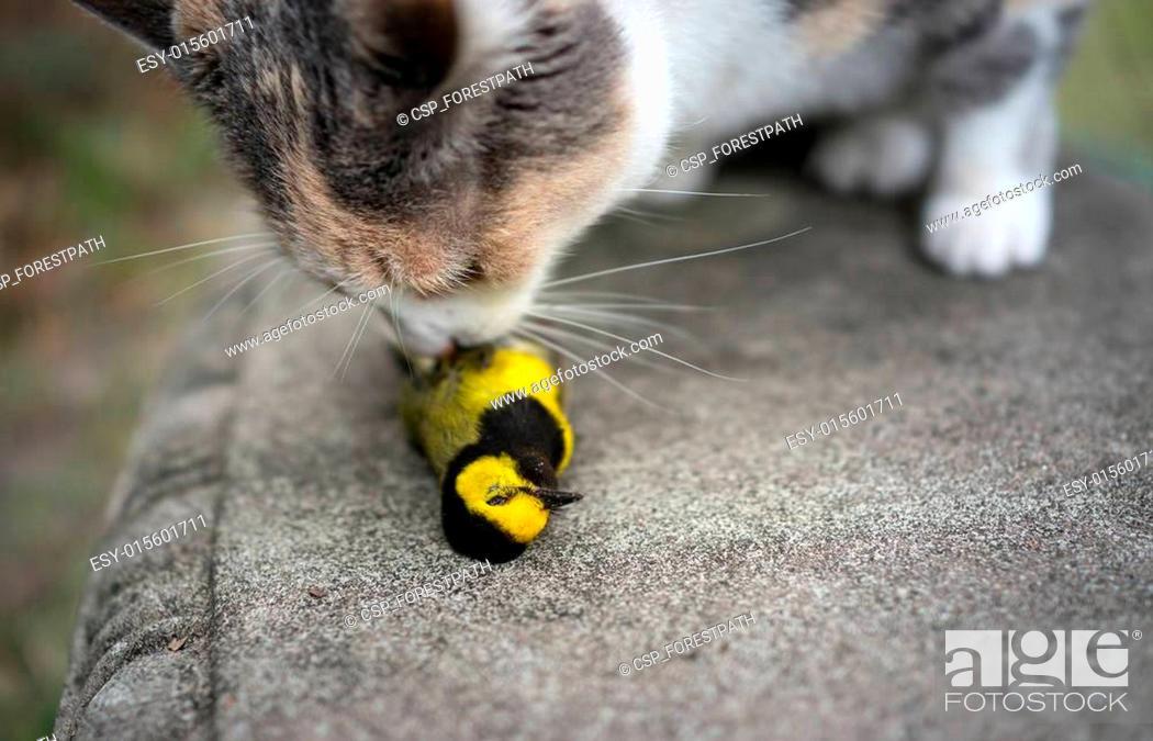 Stock Photo: Calico Cat Sniffing captured bird.