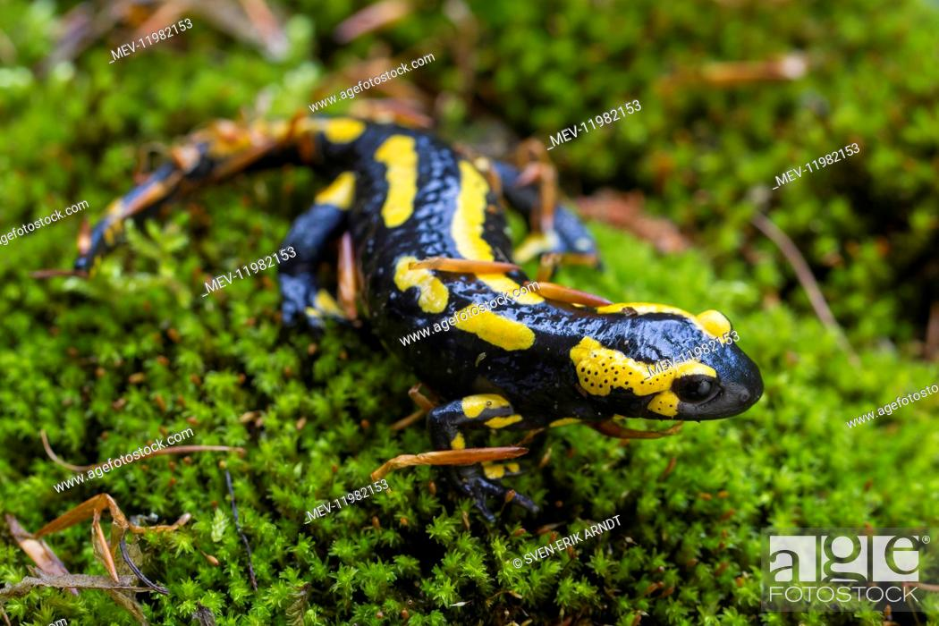 Stock Photo: Fire Salamander - adult salamander in Harz National park - Germany.