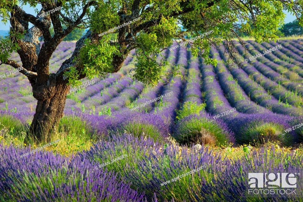 Stock Photo: Lone tree in purple field of lavender along the Valensole Plateau, Provence France.