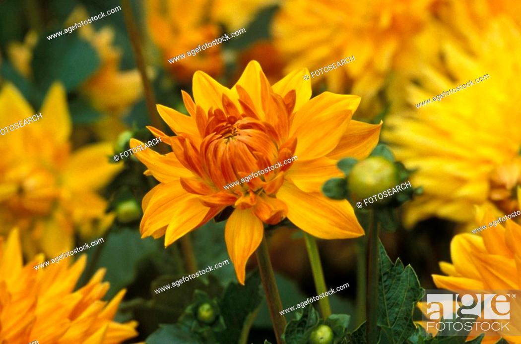 Stock Photo: CLOSE, autumn, bud, blossom, bloom, close-up, abloom.