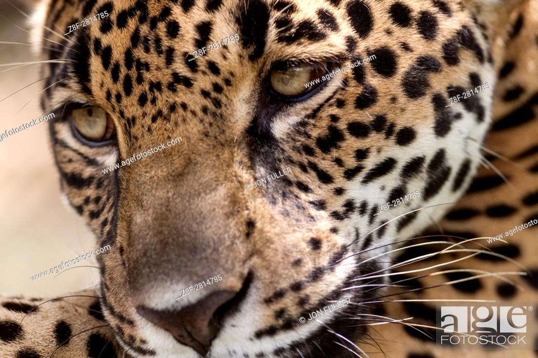 Stock Photo: Jaguar, Panthera onca, in a private reserve in Costa Rica.