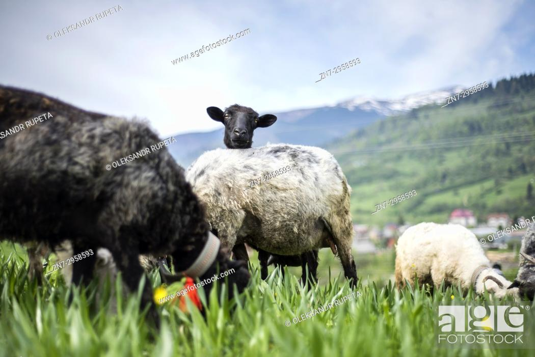 Stock Photo: Late spring, when shepherds go to Carpathian mountain valleys all villagers come to celebrate it together. Exit to the mountain is accompanied by sounds of.