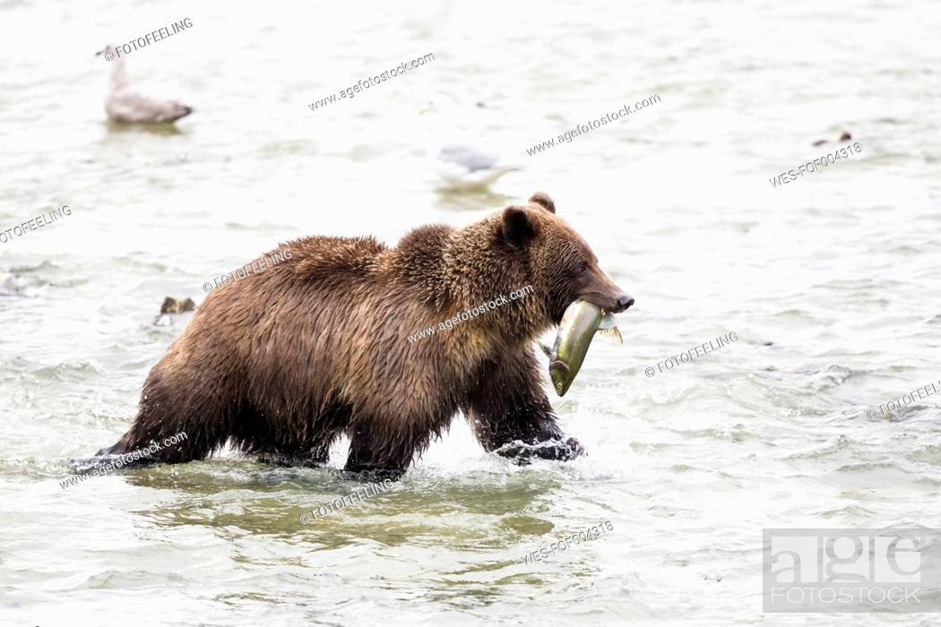 Stock Photo: USA, Alasaka, Brown bear in Chilkoot Lake with caught salmon.