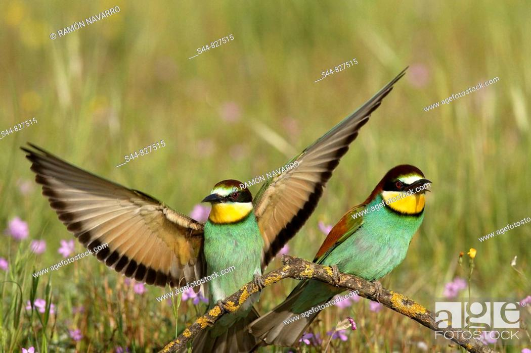 Stock Photo: European Bee-eater (Merops apiaster). Sevilla province, Andalucia, Spain.