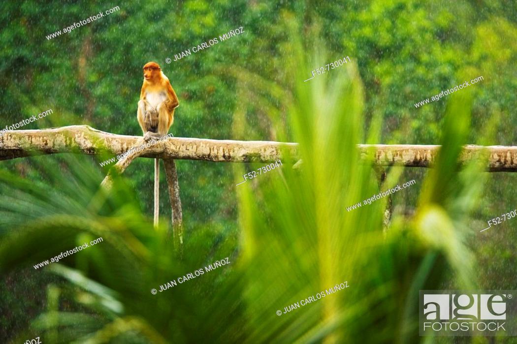 Stock Photo: Proboscis Monkey (Nasalis larvatus), Labuk Bay Proboscis Monkey Sanctuary. Sabah, Borneo, Malaysia.
