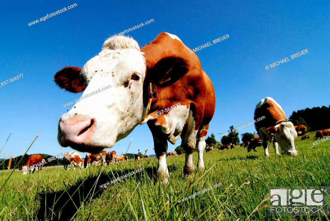 Stock Photo: Cows, Bavarian Forest, Germany.