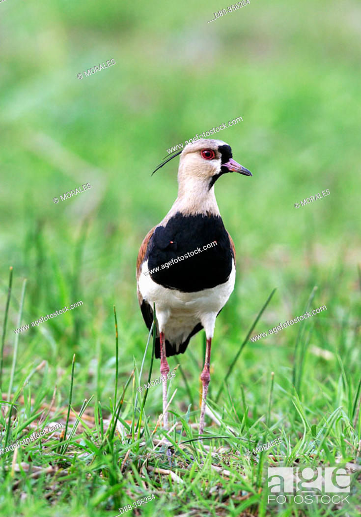 Stock Photo: Chileian Lapwing (Vanellus chilensis).
