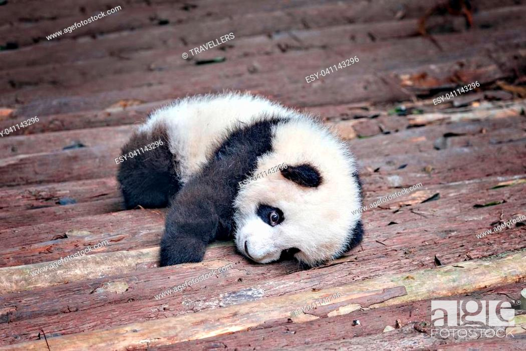 Stock Photo: Baby of Giant Panda rests in the park.