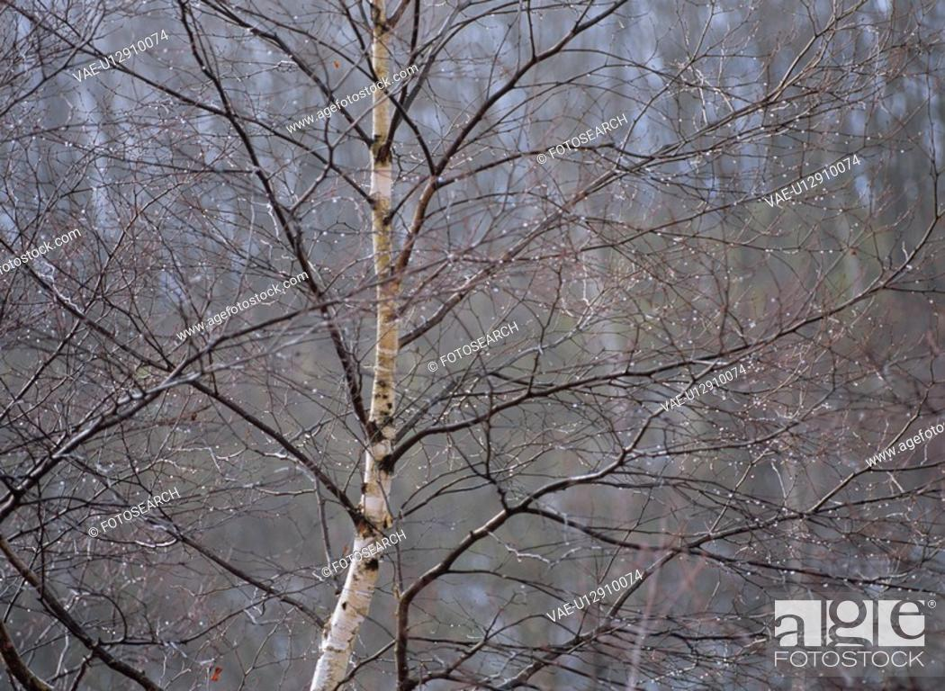 Stock Photo: The White Birch Wood Of Winter.