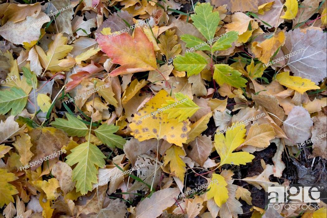 Stock Photo: Box Elder Acer negundo and Cottonwood Populus sp fallen leaves, Zion N P , Utah, U S A , autumn.