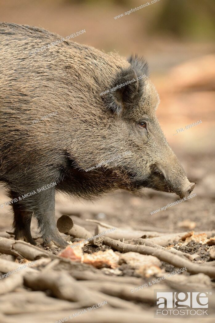 Stock Photo: Wild boar (Sus scrofa) in Bavarian Forest National Park, Germany.