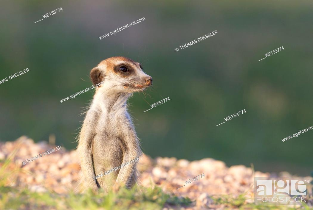 Stock Photo: Suricate (Suricata suricatta). Also called Meerkat. Guard on the lookout at its burrow. During the rainy season in green surroundings.